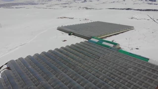 Kış kenti nde termal suyla ısıtılan serada yılda 1700 ton domates üretiliyor