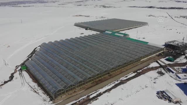 """""""Kış kenti""""nde termal suyla ısıtılan serada yılda 1700 ton domates üretiliyor"""